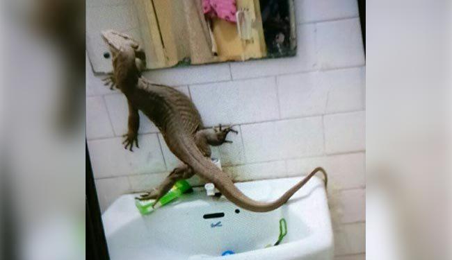 monitor-lizard-found-inside-girls-hostel-in-delhi-college